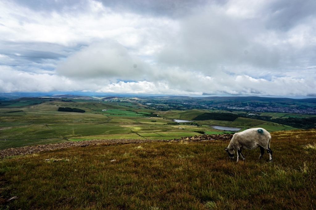 Sheep on Pendle Hill.