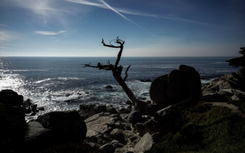 17 Mile Drive's Ghost Tree